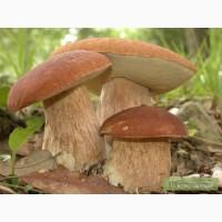 Семена белого гриба - качественный живой мицелий