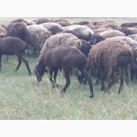 Продам курдючных племенных овц