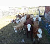 Фермерское хозяйство реализует телят породы сементал