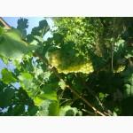 Виноград сортовой элитный (винный) белый.Сорт Cавиньон блан