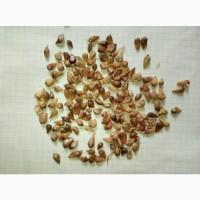 Насіння часнику а саме воздушку сорту Любаша, Дюшес, Мерефіанський білий воздушка
