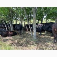 Продам коров Абердин-ангусской породы