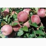 Купить в Украине саженцы яблони Флорина