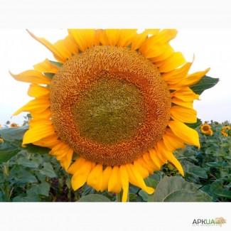 Подсолнечник Гибрид посевной материал Аракар под евролайтинг семена