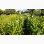 Продаю семена табака Вирджиния