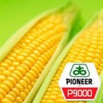 ОРИГІНАЛ!!! Насіння кукурудзи Pioneer P9000 (Піонер П9000) (ФАО 310)