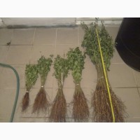 Продаем семена (косточки) магалебка (антипка) дикой вишни