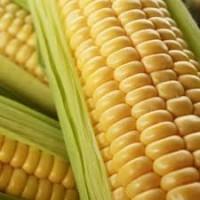 Продам високоврожайну кукурудзу Тесла ФАО(350)