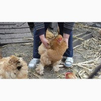 Инкубационные яйца Брама палевая
