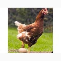 Надёжные продавцы предлагают яйца для инкубации кур Ломан Вайт и Ломан Браун