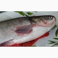 Продам рыбу свежую, свежемороженую толстолб, карп, лещ, карась, судак, окунь, тарань