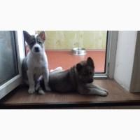Продам щенков западно-сибирской лайки