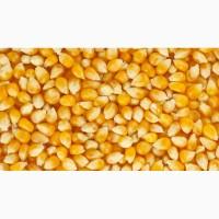 Закуповуємо кукурудзу не кондицію, вологу, биту Постійно