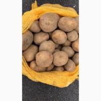 Картопля, Челленджер