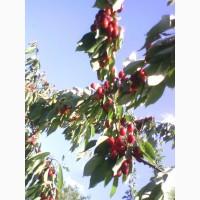 Продам фрукт черешню, вишню Московскую раннюю и Шпанку, свежие ягоды