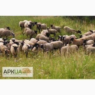 Куплю баранов овец ярок