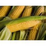 ДН Пивиха ранний высокоурожайный гибрид кукурузы