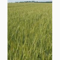 Семена озимой пшеницы Бунчук - эл/1репр (Одесская селекция)