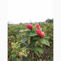 Продам саджанці малини сорта Таруса