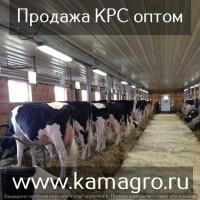 Племенные Нетели молочного направления оптом