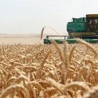Жито семена