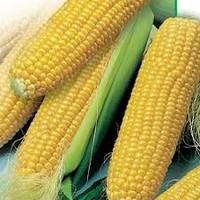 Кукуруза ПР37Н01 Форз Зеа – гибрид 1 Пионер ФАО 390