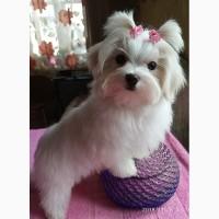 Щенок мальтеза (девочка) – мини, короткая мордочка