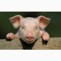 Продажа свиней Черкассы || КУПИТИ свиней жива вага 10/20/100 кг || От производителя