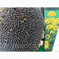 Насіння соняшнику Альварез ІМІ від виробника