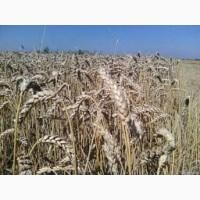 Канадська озима пшениця Толедо