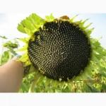 Гібрид соняшнику Орфео, Штрубе (Strube) - найвищий вихід олії з гектару