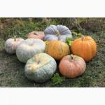 Семена тыквы (посевной материал)