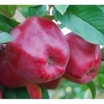 Купить в украине саженцы яблони рихард