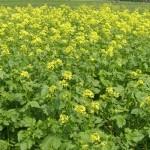 Продам семена Горчицы желтой Тавричанка -Запорожская обл. обл Цена28 000 грн