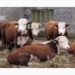 Покупка бычков, коров по всей Украине