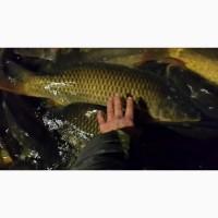 Продам живу рибку