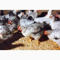 Цыплята Мастер Грей, Фокси Чик, Голошейки, 2-х, 3-х, 4-хнедельные