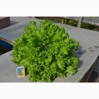 Продам свежий салат оптом