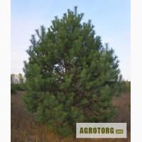 Крупномерные саженцы лесных деревьев высотой 2 - 4 метра