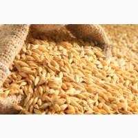 Продам посевной материал озимой пшеницы Грация 1 репродукция
