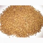 Кориандр Медун, кориандр Оксанит 1 репродукция, золотистый цвет, урожай 2020
