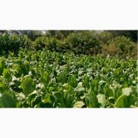 Продам насіння тютюну, махорки