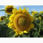 Семена подсолнечника Златсон гибрид (F1)