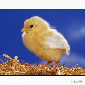Курчата цыплята добові, Миронівська птахофабрика