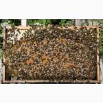 Продаю пчелосемьи, пчеломатки карпатской породы