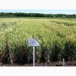 Новая озимая пшеница Наснага