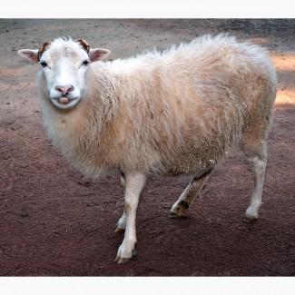 Куплю овцу, овец, баранов, ягнят по всей Украины