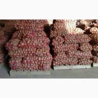 Картопля ривьера оптом Продажа картоплі оптом. В наявності декілька сортів