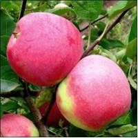 Яблоки 4000 тонн