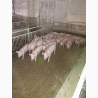 Продам свиней и маленьких поросять